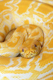 Albino Burmese Python Photo stock