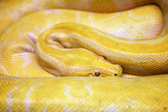 Albino Burmese Python Imagem de Stock Royalty Free