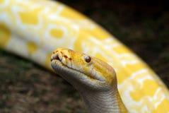 Albino Burmese Python Stock Images