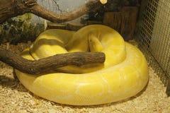 Albino Burmese Python Lizenzfreie Stockfotos
