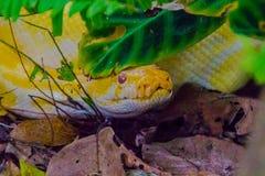 Albino Burmese Python Royaltyfria Foton