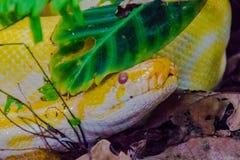 Albino Burmese Python Royaltyfri Foto