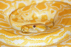 Albino Burmese Python Royalty Free Stock Photos