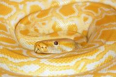 Albino Burmese Python. The close-up of albino Burmese Python royalty free stock photos
