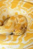 Albino Burmese Python. The close-up of albino Burmese Python stock photo
