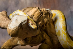 Albino burmese python Stock Photography