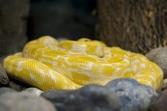 Albino Burmese Python Python-molurus bivittatus Goldene gelbe Schlange, die auf dem Boden liegt stockbilder