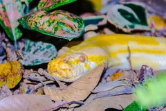Albino Burmese Python Royalty Free Stock Photo