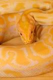 Albino Burmese Python (Pythonbivittatus) Royalty-vrije Stock Foto