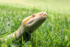 Albino Burmese-Pythonschlange, die es zeigt, ist Zunge im Gras, Nahaufnahme Stockfoto