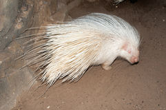 Albino Cape porcupine Royalty Free Stock Images