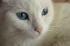 Albino Cat. A beautiful albino cat with clear eyes Stock Photos