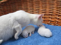 Albino cats. Two albino kittens and a white cat stock photo