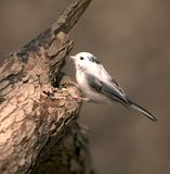 Albino Chickadee. Partial albino black-capped chickadee perched on a tre stump royalty free stock image