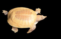 Albino Chinese Soft Shell Turtle Stock Photos