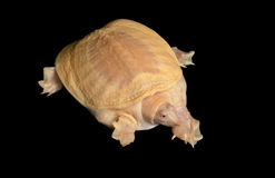 Albino Chinese Soft Shell Turtle Stock Images