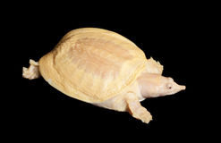 Albino Chinese Soft Shell Turtle Royalty Free Stock Photography