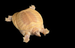 Albino Chinese Soft Shell Turtle Stock Image