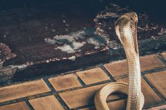 The cobra spread the hood. The albino cobra spread the hood on the floor and cobra is fierce snake royalty free stock photography