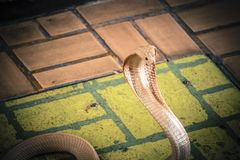 The cobra spread the hood. The albino cobra spread the hood is on the floor and cobra snake is fierce stock image