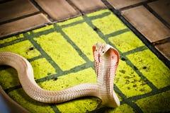 The cobra spread the hood. The albino cobra spread the hood is on the floor and cobra snake is fierce stock photo