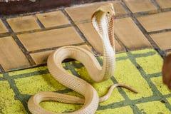 The cobra spread the hood. The albino cobra spread the hood is on the floor and cobra snake is fierce royalty free stock photos