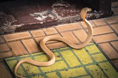 The cobra spread the hood. The albino cobra spread the hood is on the floor and cobra snake is fierce royalty free stock images