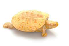Albino Columbian Slider Royalty Free Stock Photography