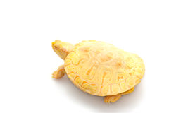 Albino Columbian Slider Royalty Free Stock Images