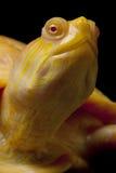 Albino Columbian Slider Stock Images