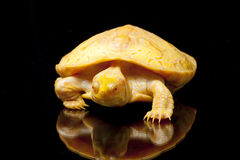 Albino Columbian Slider Royalty Free Stock Photos