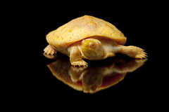 Albino Columbian Slider Royalty Free Stock Photo