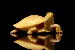 Albino Columbian Slider Royalty Free Stock Image