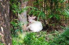 Albino Common Barking Deer Stock Photography
