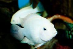 Albino Convict Cichlid in Aquarium Stock Image