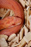 Albino Corn Snake Royalty Free Stock Images