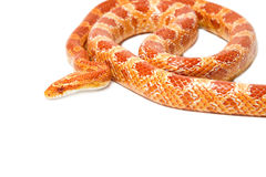 Albino corn snake Stock Photo