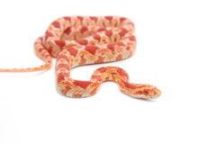 Albino corn snake Royalty Free Stock Image