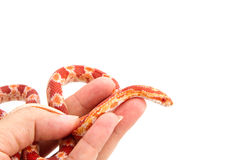 Albino corn snake  in hand Stock Photo