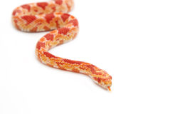 Albino corn snake on isolate Royalty Free Stock Images