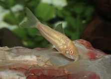 Albino Cory CatFish Stock Photography