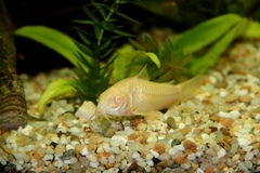 Albino Corydoras Στοκ εικόνες με δικαίωμα ελεύθερης χρήσης