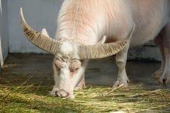 White water buffalos in the zoo, adobe rgb. Bubalus eat grass in the zoo of xiamen city, china Stock Photo