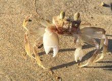 Albino Crab imagem de stock