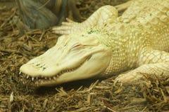 Albino Croc Στοκ Εικόνα