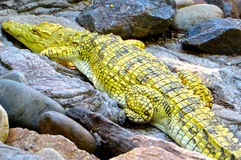 Yellow Crocodile. Close up view of a yellow nile crocodile against a boulder in South Africa stock image