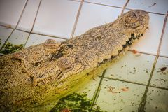 Albino crocodile is conceal low in the water. Alive golden croco Stock Photos
