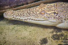 Albino crocodile is conceal low in the water. Alive golden croco Royalty Free Stock Images