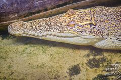 Albino crocodile is conceal low in the water. Alive golden croco Stock Images