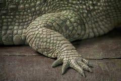 Albino Crocodile-Eisbein/-haut ist weiß, fast ausgestorben, fanden in Südostasien stockfotos